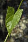 Echte Zaunwinde Blatt gruen Convolvulus sepium 10