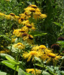 Echter Alant Bluete gelb Inula helenium 01 1