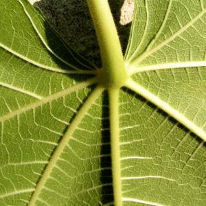 Echter Feigenbaum Blatt gruen Ficus carica 02