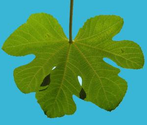 Echter Feigenbaum Blatt gruen Ficus carica 03