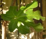 Echter Feigenbaum Blatt gruen Ficus carica 04