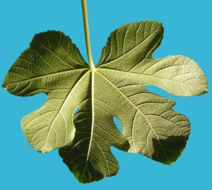 Echter Feigenbaum Blatt gruen Ficus carica 10