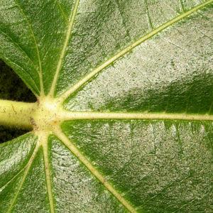 Echter Feigenbaum Blatt gruen Ficus carica 11