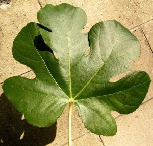 Echter Feigenbaum Blatt gruen Ficus carica 13