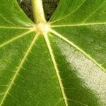 Echter Feigenbaum Blatt gruen Ficus carica 15