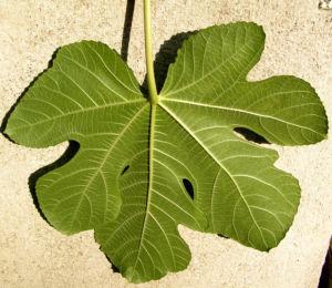 Echter Feigenbaum Blatt gruen Ficus carica 17