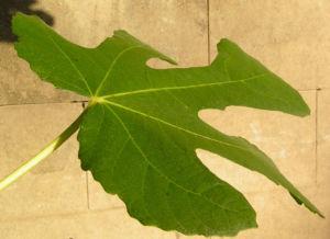 Echter Feigenbaum Blatt gruen Ficus carica 18