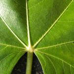 Echter Feigenbaum Blatt gruen Ficus carica 19