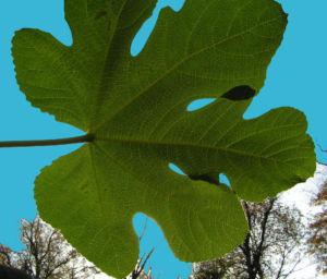Echter Feigenbaum Blatt gruen Ficus carica 20