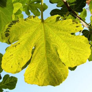 Echter Feigenbaum Blatt gruen Ficus carica 25