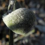 Echter Feigenbaum Frucht gruen Ficus carica 01