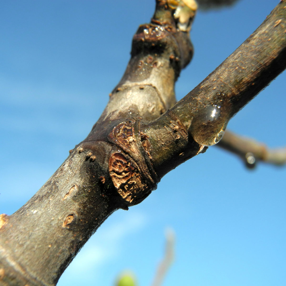 Echter Feigenbaum Rinde braun Ficus carica