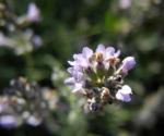 echter lavendel bluete hell lila lavandula angustifolia 04