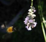 echter lavendel bluete hell lila lavandula angustifolia 05