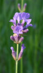 Echter Lavendel Bluete lila Lavandula angustifolia 13