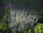 Echter Lavendel Bluete lila Lavandula officinalis 08