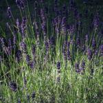 Bild:  Echter Lavendel Blüte lila Lavandula officinalis