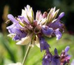 Echter Salbei Bluete lila Salvia officinalis 04