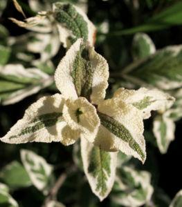 Echter Salbei Bluete lila Salvia officinalis 07