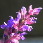 Echter Salbei Bluete lila Salvia officinalis 10