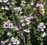 Bild:  Echter Thymian Blüte rose Thymus vulgaris