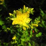 Echtes Johanniskraut Bluete gelb Hypericum perforatum 03