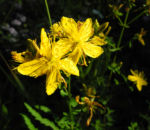 Echtes Johanniskraut Bluete gelb Hypericum perforatum 04