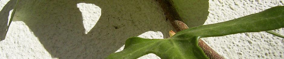 gemeiner-efeu-blatt-gruen-schmal-hedera-helix