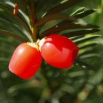 Eibe Baum immergruen Frucht rot taxus baccata 02