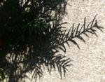 Eibe Baum immergruen Frucht rot taxus baccata 04