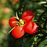 Eibe Baum immergruen Frucht rot taxus baccata 05