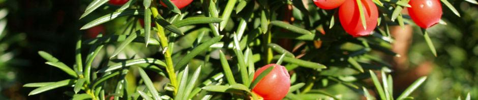 eibe-baum-immergruen-frucht-rot-taxus-baccata