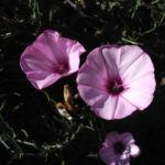 Eibischblaettrige Winde Bluete pink Convolvulus althaeoides 01