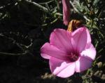 Eibischblaettrige Winde Bluete pink Convolvulus althaeoides 03