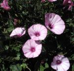 Eibischblaettrige Winde Bluete pink Convolvulus althaeoides 06