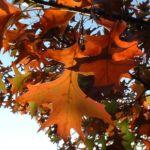 Eiche Roteiche Quercus rubra 01