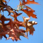 Eiche Roteiche Quercus rubra 02