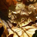 Eichel Quercus 04