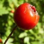 Eingriffeliger Weissdorn Frucht rot Crataegus monogyna 01