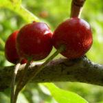 Eingriffeliger Weissdorn Frucht rot Crataegus monogyna 02