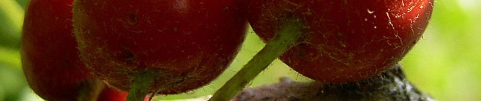 eingriffeliger-weissdorn-frucht-rot-crataegus-monogyna