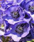 Eisenhut Bluete blau Aconitum x arendsii 07
