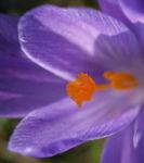 Elfen Krokus Bluete lila Crocus tommasinianus 04