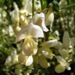Elfenbein Ginster Bluete Cytisus praecox 02