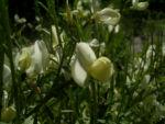 Elfenbein Ginster Bluete Cytisus praecox 03