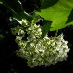 Elsbeere Baum Bluete weiss Sorbus torminalis 04