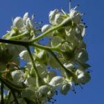 Elsbeere Baum Bluete weiss Sorbus torminalis 05