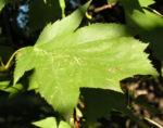 Elsbeere Blatt gruen Beere rot Sorbus torminalis 07