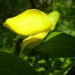 Erbsenstrauch Bluete gelb Caragana arborescens 01