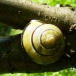 Erbsenstrauch Bluete gelb Caragana arborescens 04